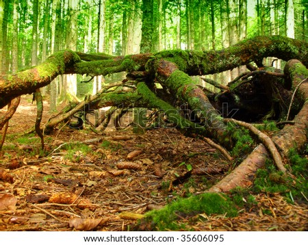 Forest in the mountain Tara - stock photo