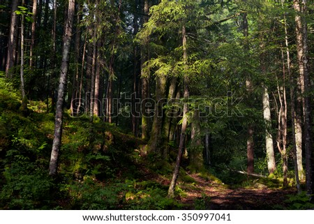 Forest in the mountains with pine trees - stock photo