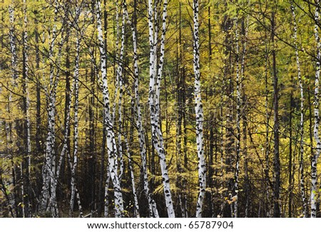 forest in the northeast of china - stock photo