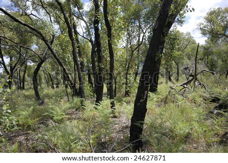 Forest in Victoria, Australia one year after a severe bushfire