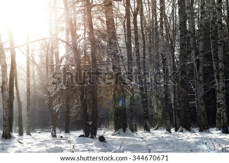 forest in winter sun