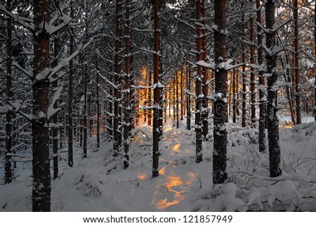 forest in winter with pine trees and snow at sunset