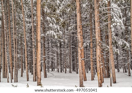 Forest in Yellowstone National Park with new snow in May