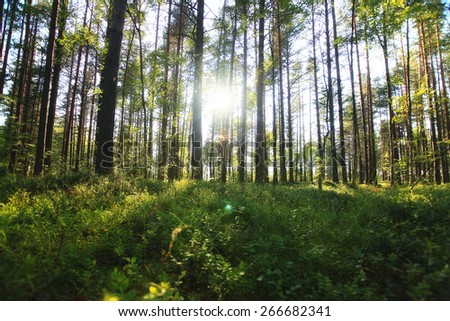 forest landscape in summer europe pine - stock photo
