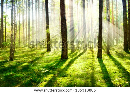 Forest. Morning Fog. Misty and Foggy Forest. Old Trees - stock photo