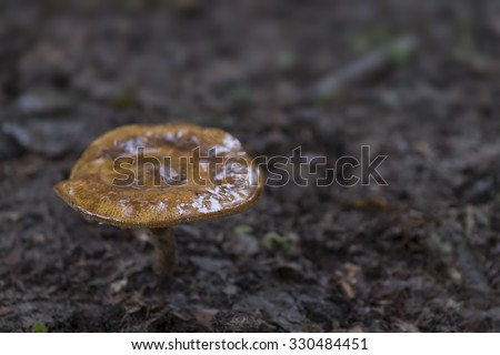 Forest mushroom in Dutch forest with shallow depth of field - stock photo