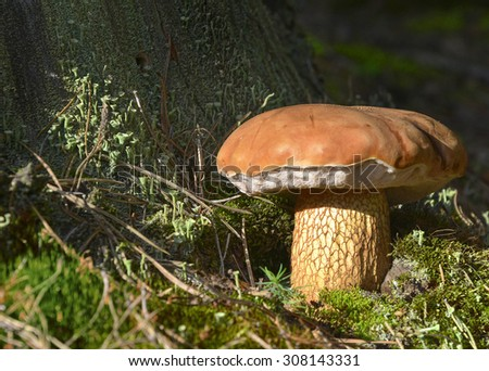 forest mushroom in moss stands under a tree - stock photo
