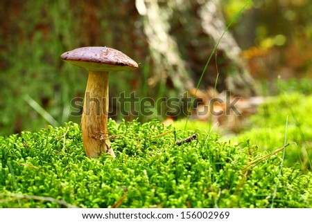 Forest mushrooms growing in a green moss. Edible Bay Bolete (Boletus badius ) in Poland Europe