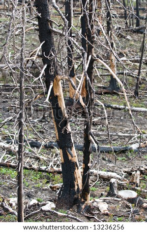forest of burned trees years after a forest fire in Glacier National Park, Montana. - stock photo