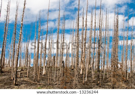 Forest of burned trees years after a forest fire in Glacier National Park, Montana. with blue sky in the background - stock photo