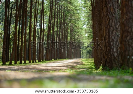 Forest of green pine trees in Chiangmai, Thailand - stock photo