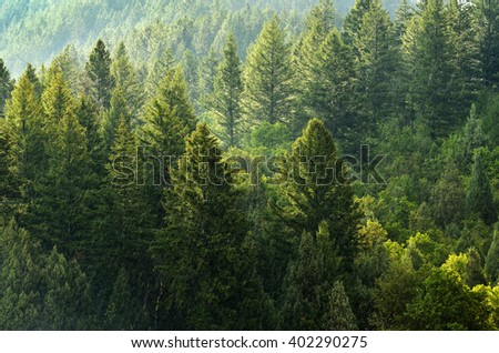 Forest of green pine trees on mountainside with late afternoon sunlight - stock photo