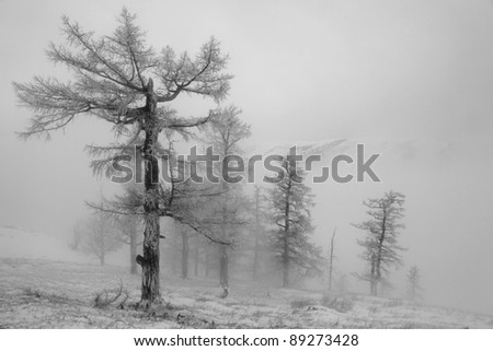 forest of larches in fog - stock photo