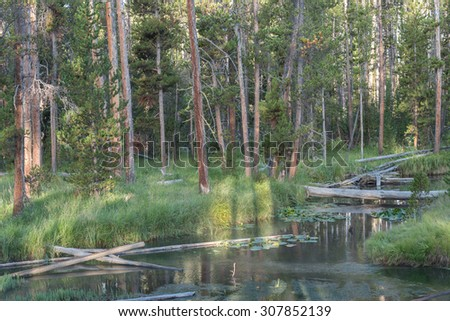 Forest of lodgepole pines along the Gibbon River in Yellowstone National Park, Wyoming. - stock photo
