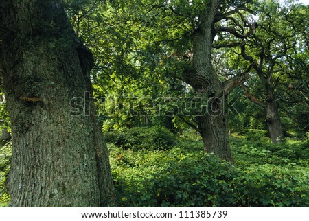 Forest of oak trees - stock photo