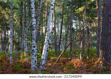 Forest of pine trees. - stock photo