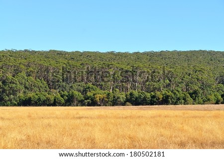 forest of tall Karri trees across dry pasture