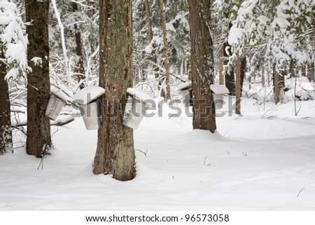 Forest of Trees with Sap Pails - stock photo