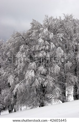 Forest on a mountain slope after a snowfall - stock photo
