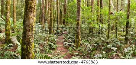 Forest panorama ~ a track winds through a temperate rainforest.  Yarra Ranges, Victoria, Australia.  XL file. - stock photo