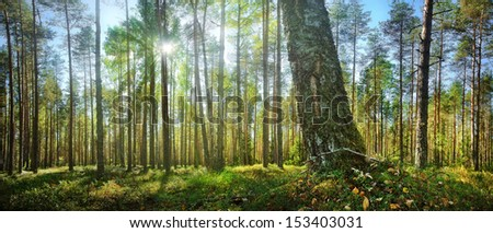 forest panorama with sunbeams - stock photo