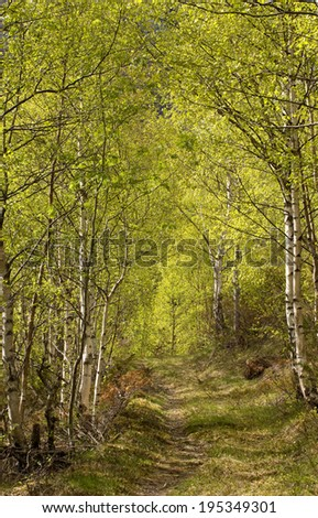 Forest path between green birch trees on a sunny day - stock photo