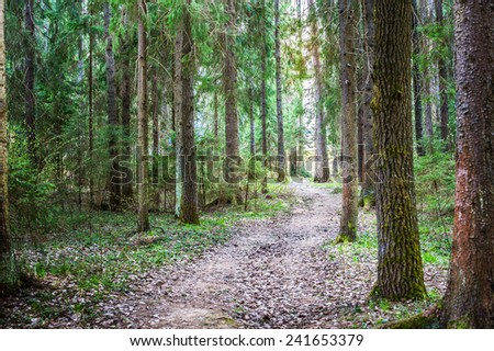 Forest path in pine forest on summer day.