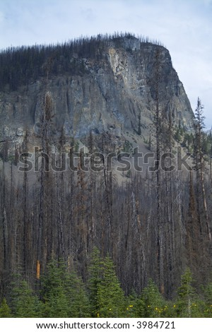 Forest regrows after devastating forest fire in the Rocky Mountains - stock photo