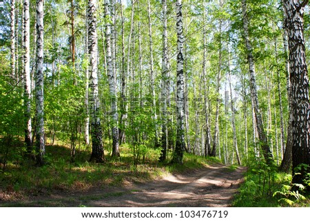 Forest road. nature. Birch, pathway in the forest with sunlight