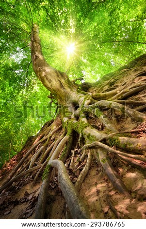 Forest scenery in worm's eye view emphasizing the roots of a beech tree, with the sun shining through the foliage - stock photo