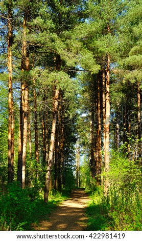 Forest spring landscape -  row of pine trees and narrow path lit by sunlight.  Spring picturesque forest landscape.  - stock photo