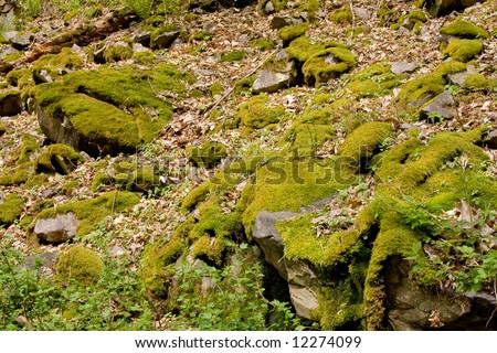 forest stones covered with moss