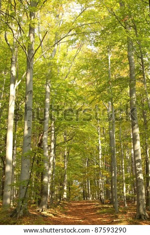 Forest trail among the beech trees on a sunny autumn afternoon. - stock photo