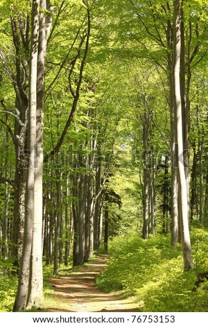 Forest trail among the beech trees on a sunny May morning. - stock photo