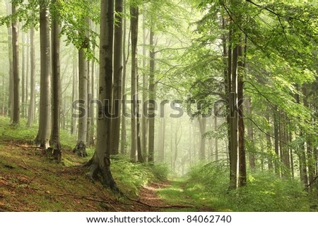 Forest trail among the beech trees surrounded by mountain mist. - stock photo