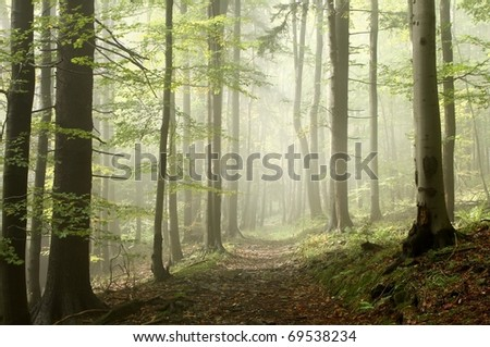 Forest trail among the deciduous and coniferous trees on a foggy autumn morning.