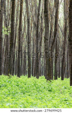 forest trees and foliage summer  - stock photo