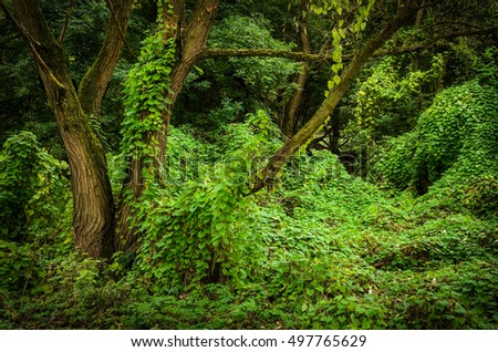 forest trees overgrown with lianas