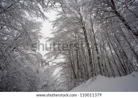 Forest trees with snow