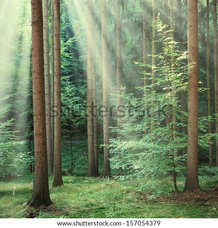 Forest trees with yellow sun beams of morning light - stock photo