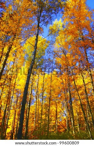 Forest View Trees of Yellow - stock photo