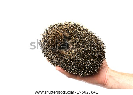 Forest wild hedgehog in the hand isolated on white background - stock photo