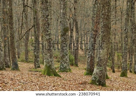 forest with bare trees in autumn - stock photo