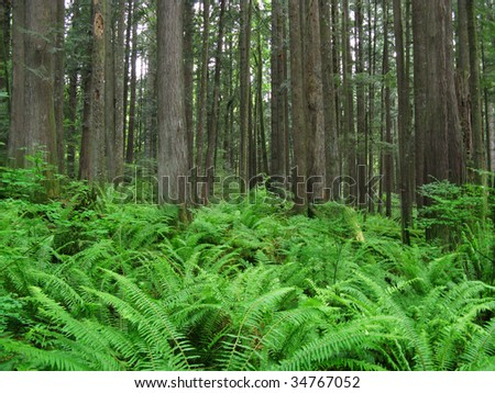 Forest with Cedar Trees and Ferns
