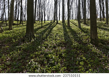 Forest with corydalis flower in spring, Bad Iburg, Lower Saxony, Germany - stock photo
