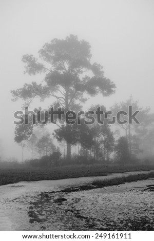 forest with fog background in black and white tone - stock photo