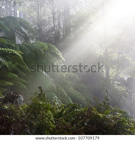 Forest with fog. Black Range Forest, Australia, Victoria. - stock photo