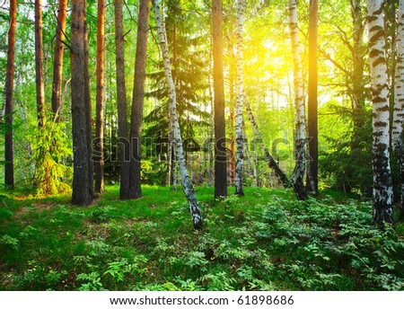 Forest with green trees at sunset - stock photo