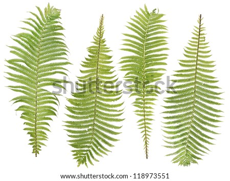 Forest wood green fern real leaves set for Halloween composition  isolated - stock photo