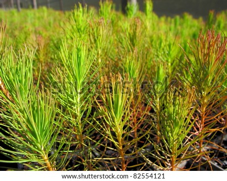 forestry seedlings - stock photo